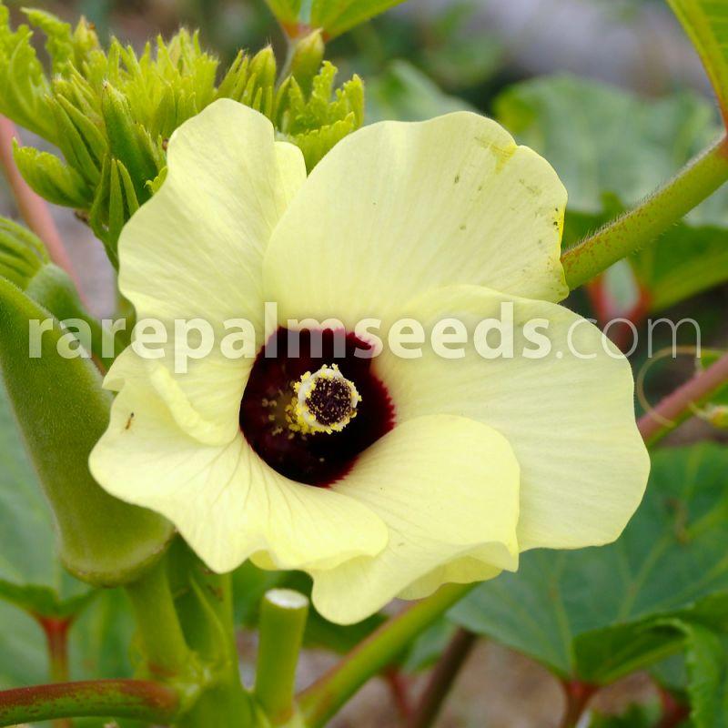 Abelmoschus esculentus – Okra – Buy seeds at rarepalmseeds.com