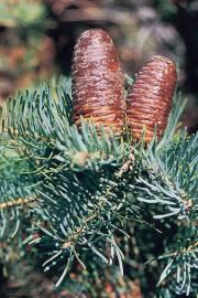 Abies concolor 'Glauca' – White Fir