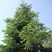 Abies Delavayi Var Delavayi Delavay Fir Buy Seeds At