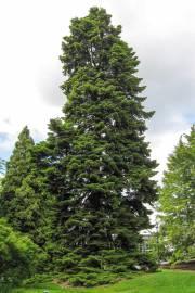 Abies nordmanniana subsp. nordmanniana – Sapin du Caucase