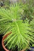 Abies pindrow – West Himalayan Fir