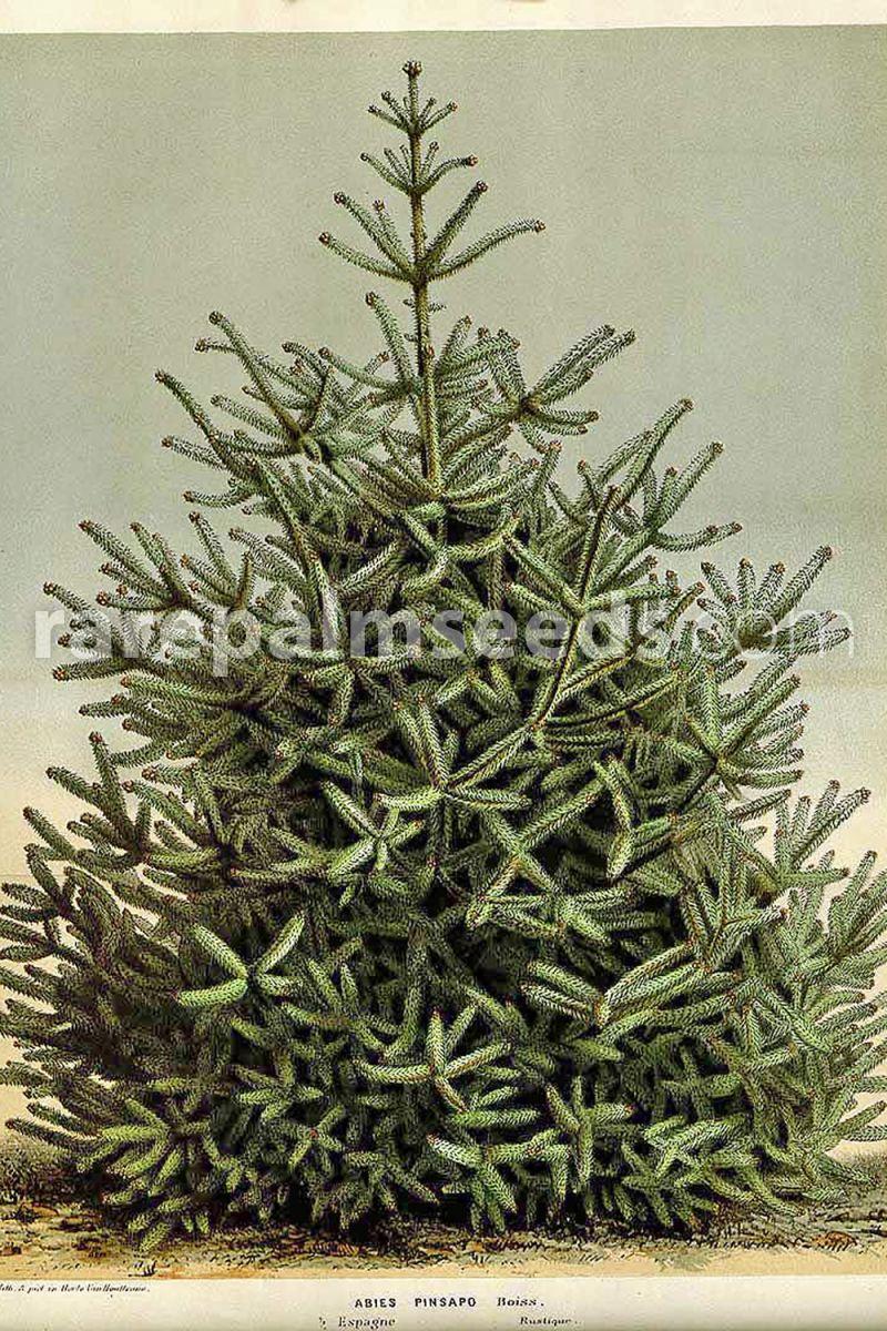 20 graines de Sapin d/'Espagne Spanish Fir seeds Abies pinsapo
