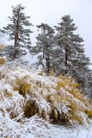 Abies spectabilis – East Himalayan Fir