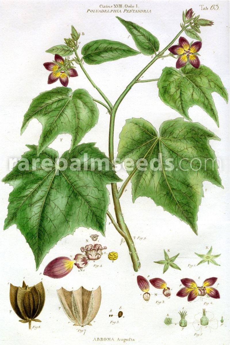 Abroma Augusta Devils Cotton Buy Seeds At Rarepalmseedscom