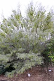 Acacia aneura – Mulga