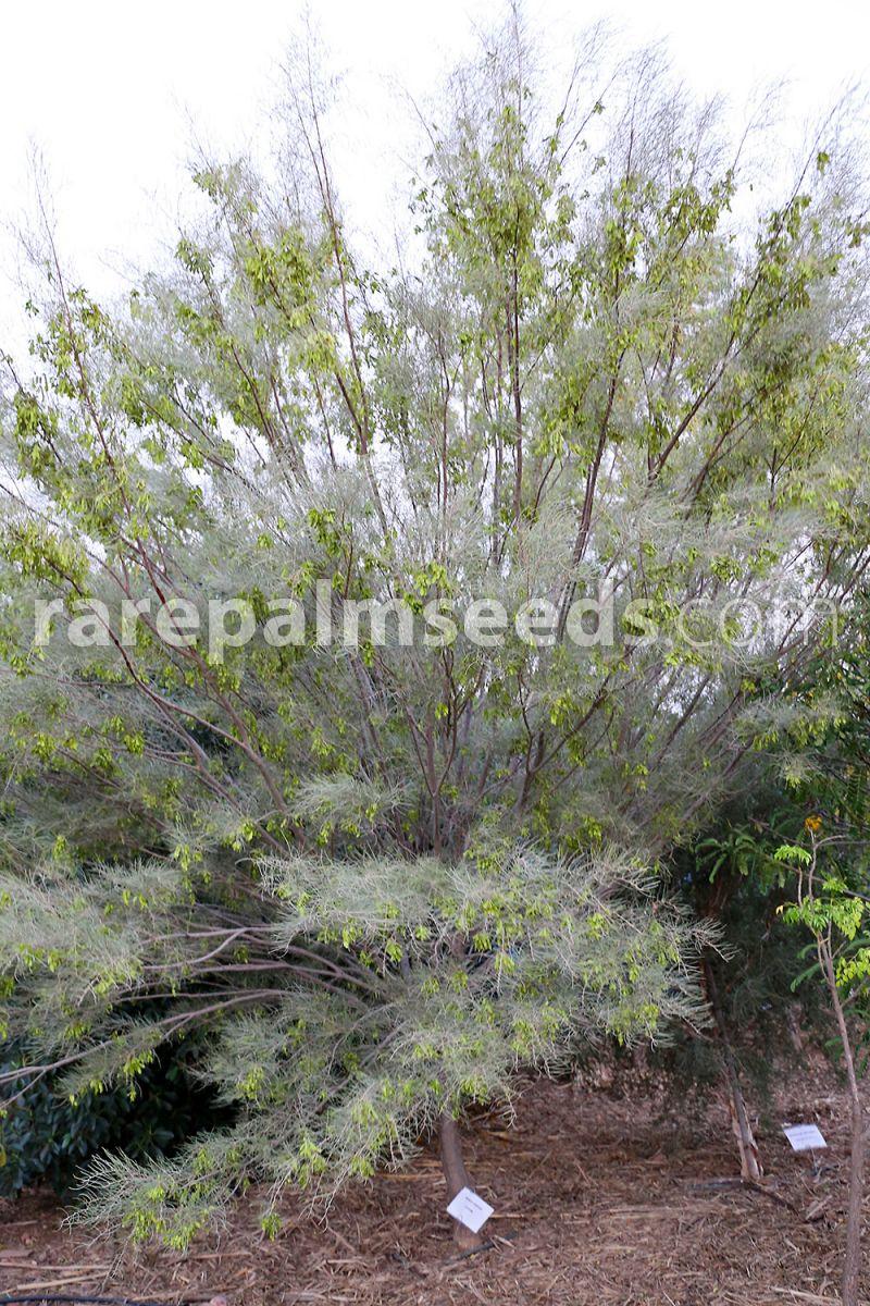 Acacia Aneura Mulga Wattle Buy Seeds At Rarepalmseedscom