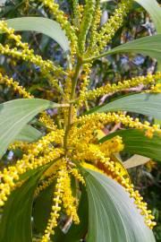 Acacia auriculiformis – Earleaf Acacia