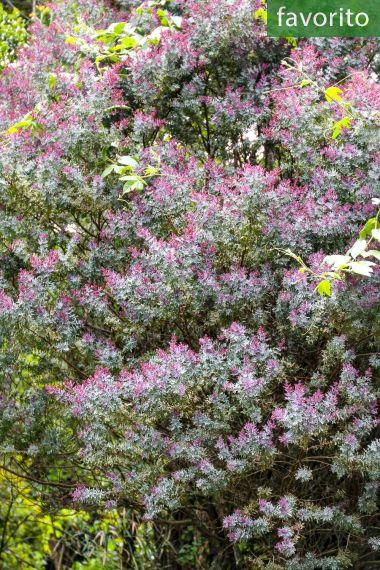 Acacia baileyana 'Purpurea' – Acacia mimosa
