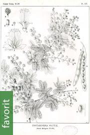 Acacia baileyana – Cootamundra-Akazie