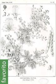 Acacia baileyana – Acacia mimosa