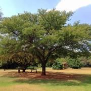 Acacia burkei – Black Monkey Thorn