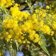 Acacia dealbata – Mimosa plateada, acacia de la India