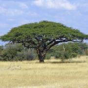 Acacia erioloba – Camel Thorn, Giraffe Thorn