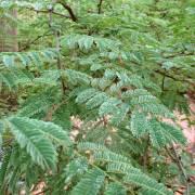 Acacia galpinii – Monkey Thorn