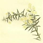 Acacia genistifolia 'Prostrata' – Spreading Wattle