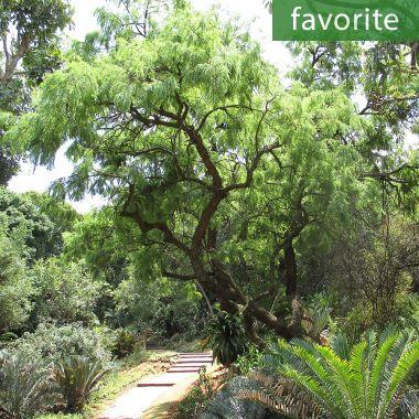 Acacia karroo – Sweet Thorn