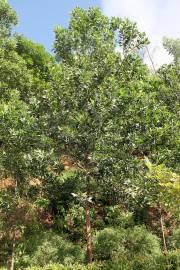 Acacia mangium – Black Wattle, Mangium Wattle