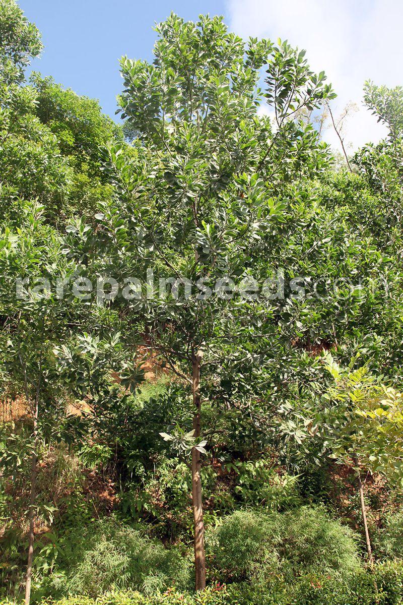 Acacia Mangium Black Wattle Mangium Wattle Buy Seeds At