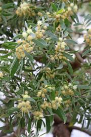 Acacia melanoxylon – Australian Blackwood