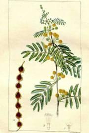 Acacia nilotica – Gum Arabic Tree, Egyptian Thorn