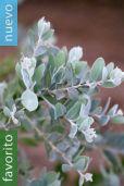 Acacia podalyriifolia – Acacia plateada