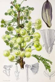 Acacia robusta – Splendid Acacia