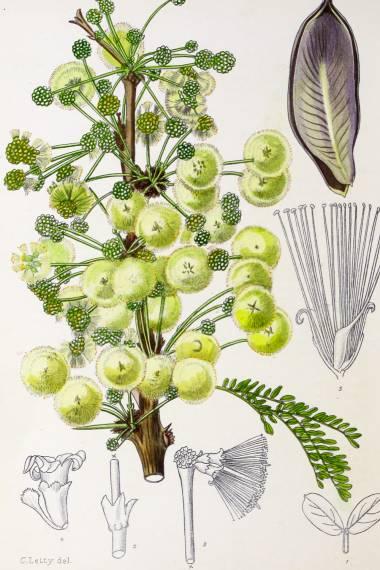 Acacia robusta – Acacia splendide