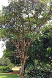Acacia sieberiana – Paperbark Thorn