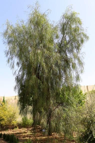 Acacia stenophylla – River Cooba, Shoe-String Acacia