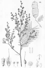 Acacia tenuifolia – Climbing Acacia