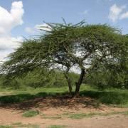 Acacia tortilis – Umbrella Thorn Tree