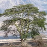 Acacia xanthophloea – Gelbrindenakazie, Fieberakazie