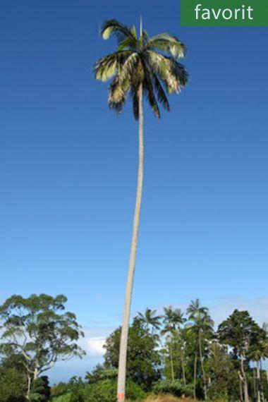 Acanthophoenix rousselii – Trois-Mares Barbelpalme