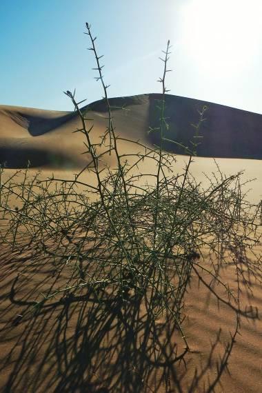 Acanthosicyos horridus – Nara Melon