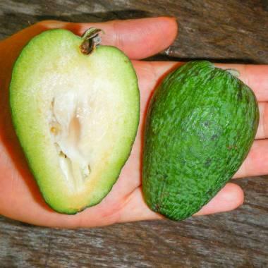 Acca sellowiana – Pineapple Guava
