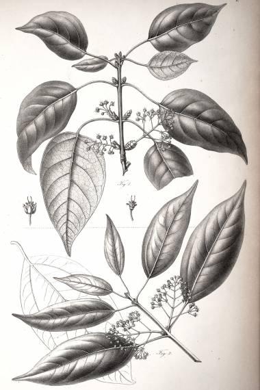 Acer laurinum
