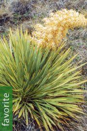 Aciphylla aurea – Golden Spaniard, Taramea