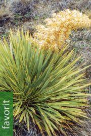 Aciphylla aurea – Lanzengrass