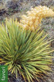 Aciphylla aurea