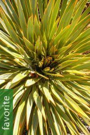 Aciphylla colensoi – Wild Spaniard