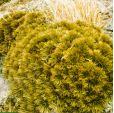 Aciphylla crosby-smithii – Crosby-Smith's Speargrass