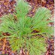 Aciphylla dieffenbachii – Dieffenbachs Speargrass