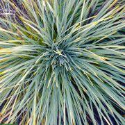 Aciphylla glaucescens – Feathery Spaniard