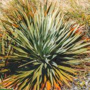 Aciphylla horrida 'Lomondii' – Horrid Spaniard
