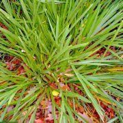 Aciphylla traversii – Chatham Island Speargrass, Taramea