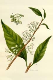 Acnistus arborescens – Hollowheart, Wild Tobacco