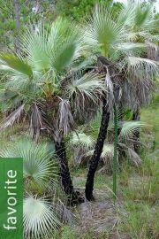 Acoelorraphe wrightii 'Azul' – Blue Paurotis Palm