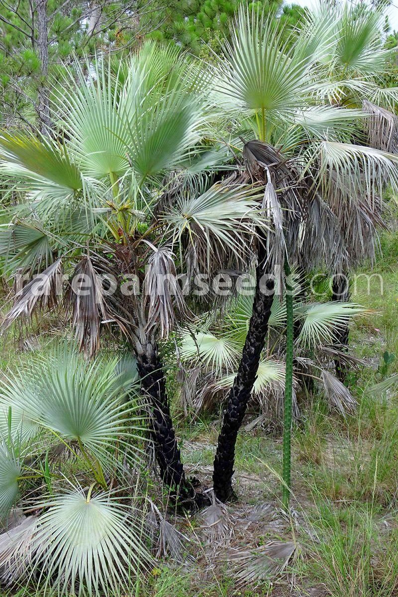Acoelorrhaphe wrightii 10 Samen Everglade-Palme