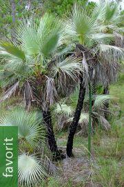 Acoelorrhaphe wrightii 'Azul' – Blaue Paurotis-Palme