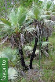 Acoelorrhaphe wrightii 'Azul' – Palma de pantano azul